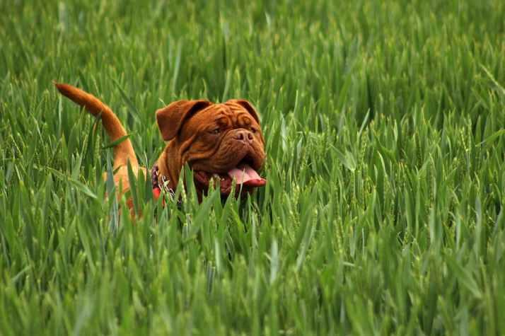 bordeaux-mastiff-dog-animal